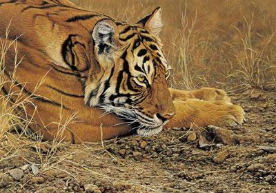 Always Alert - Tiger by Alan Hunt