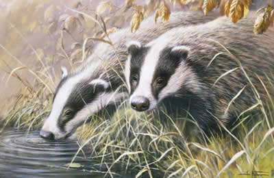 Autumn Morning - Badgers