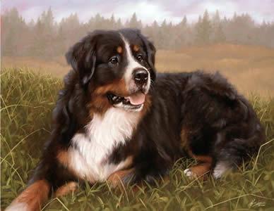 Bernese Mountain Dog by John Silver