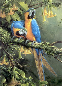 Blue & Gold Macaw - Parrots small