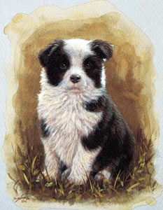 Border Collie Pup Study by John Silver