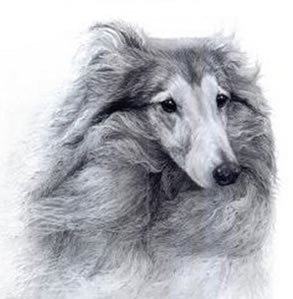 Bracken - Shetland Sheepdog by Gary Hodges
