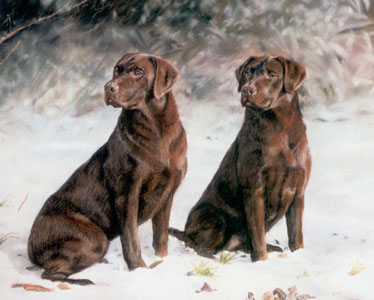 choc-ice-chocolate-labradors-3019