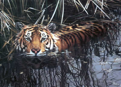 Cooling Off - Tiger by Steven Townsend