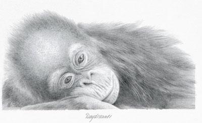 Daydreamer - Orangutan by Peter Hildick
