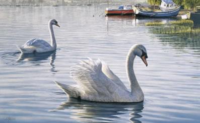 Evening Parade - Swans