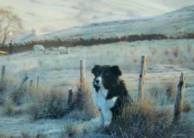 First Light - Border Collie small