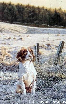 Frosty Morn - Springer Spaniel