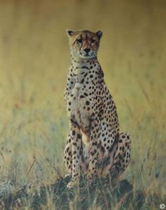Morning Dew - Cheetah
