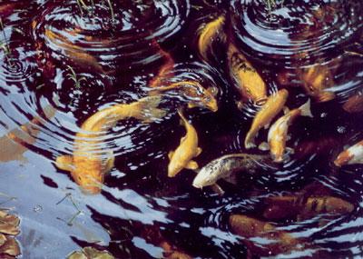 On Golden Pond - Koi Carp