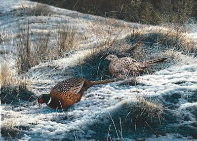 Pheasants - First Fall