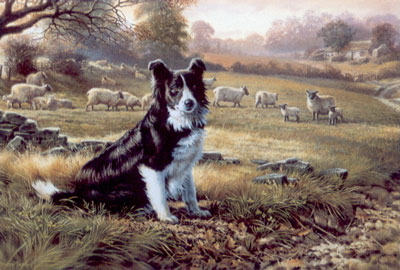 Ready For Work - Border Collie