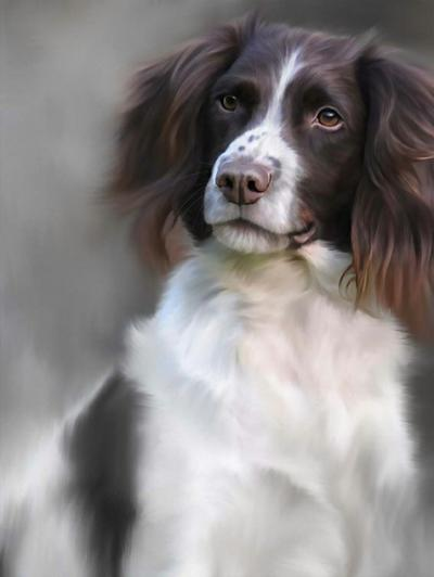 Springer Spaniel (40th Anniversary Image) by Nigel Hemming