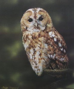 Tawny Owl by Steven Townsend