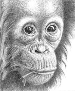 Thinking Of You - Orangutan by Peter Hildick