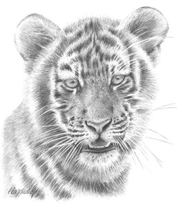 Tiger Study small