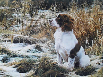 Tribute To Dash - Springer Spaniel (Canvas)