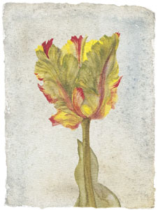 Tulip VI