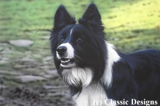 Victor (Border Collie) - Canvas by Steven Townsend