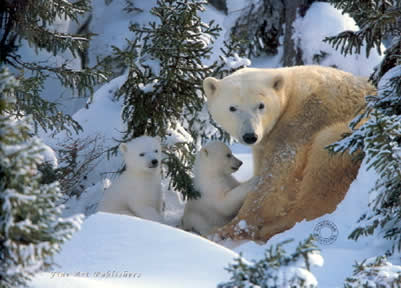 Warmth Of Nature - Polar Bear & Cubs by Steven Townsend