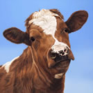 How Now, Brown Cow by Toni Hargreaves