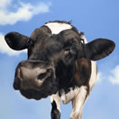 Nosey Cow by Toni Hargreaves