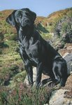 Tribute To Moses (Black Labrador) by Steven Townsend